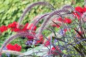 紫色喷泉草 — 图库照片