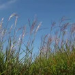 Stock Video: Tall Ornamental Grass with Plume Swaying against Clear Blue Sky on Breezy Day 1920x1080