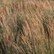 Stock Video: Tall Ornamental Reed Grass with Plume Swaying on Breezy Day 1920x1080