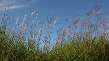 Tall Ornamental Grass with Plume Swaying against Clear Blue Sky on a Breezy Day 1920x1080 — Stock Video