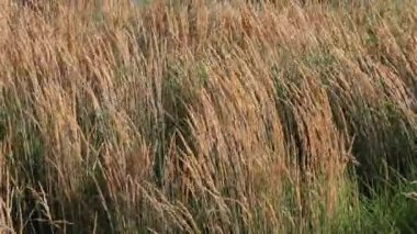 Tall Ornamental Reed Grass with Plume Swaying on a Breezy Day 1920x1080 — Stock Video