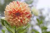 Variegated Dahlia Flower Closeup — Stock Photo