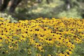 Field of Black Eyed Susan Flowers — Stock Photo