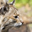 Bobcat Portrait Closeup — Stock Photo