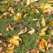 Yellow Fall Beech Tree Leaves on Grass Lawn — Stock Photo