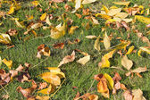 Żółty jesienią Buk drzewo liście na trawniku — Zdjęcie stockowe