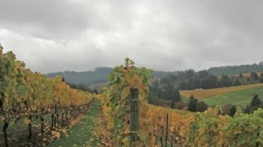 Vineyard Plantation with Grapes Bearing Vines with Autumn Fall Colors on the Rolling Hills in Dundee Oregon 1920x1080 — Stock Video