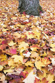 Fallen Maple Tree Red and Yellow Leaves Background — Stock Photo