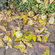 Fallen Black Walnut Tree Leaves and Fruits — Стоковая фотография