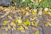 Fallen Black Walnut Tree Leaves and Fruits — Stock Photo