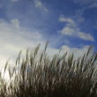Stock Video: Ornamental Grass with Silky Tresses of Silvery Cream Plumes Swaying on Breezy Day Time Lapse 1080p