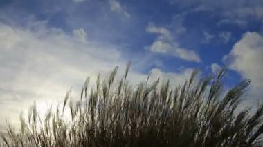 Ornamental Grass with Silky Tresses of Silvery Cream Plumes Swaying on a Breezy Day Time Lapse 1080p — Stock Video