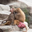 Baboons Grooming — Stock Photo