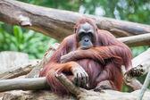 Sumatran Orang Utan — 图库照片