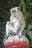 обезьяна макак, сидя на вершине — Стоковое фото