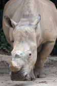 White Square-Lipped Rhinoceros — Stock Photo