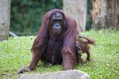Female Orangutan with Baby — Stock Photo