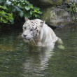 Stock Photo: White Bengal Tiger Wading in Water