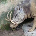 Babirusa Wild Boar Closeup — Stock Photo