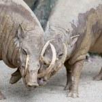 Babirusa Wild Boar Pair Snuggling — Stock Photo