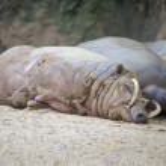 Babirusa Pigs Sleeping — Stock Photo