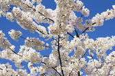 Cherry Blossoms Flowers in Full Bloom — Stock Photo
