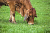 Brahman Cow Grazing on Grass Closeup — Stock Photo