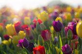 Bereich der bunten Tulpen in voller Blüte — Stockfoto