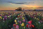 Tulip Farm Field at Sunset — Stock fotografie