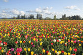 Field of Colorful Tulips Landscape — Stock Photo
