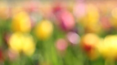 Bright Colorful Tulips Out of Focus Bokeh Background in Woodburn Oregon on a Sunny and Breezy Spring Season Day Closeup 1080p — Stock Video