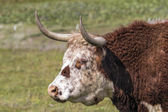 Cattle with Horns Side Portrait — 图库照片