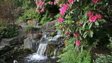 Waterfall in Backyard Garden with Ferns Moss and Pink Rhododendron Flowers Blooming in Spring Season 1080p — Stock Video