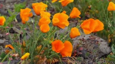 Golden Poppy Wildflowers Blooming Spring Season in Maryhill Washington on a Breezy Windy Day 1080p — Stock Video
