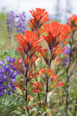 Red Indian Paintbrush Wildflowers Closeup — Stock Photo
