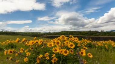 Yellow Balsamroot Wildflowers Blooming Spring Season in Maryhill Washington with White Clouds and Blue Sky Time Lapse on a Breezy Day 1080p — Stock Video