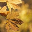 Maple leaves on autumn background — Stock Photo