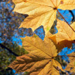 Stock Photo: Maple leaves on autumn background