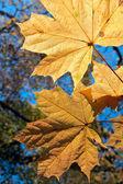 Maple leaves on autumn background — Stock Photo