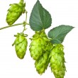 Hop cones - Stock Photo