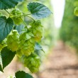 Hop cones - raw material for beer production, — Stock Photo