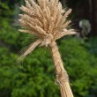 Sheaf of wheat - Stock Photo