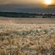 Barley field — Stock Photo #29046773