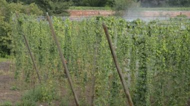 Chemical spraying in the hop-garden — Stock Video