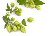 Hop cones isolated — Stock Photo