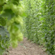 Hop-garden — Stock Video #30406945