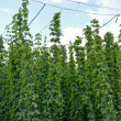 Hop garden — Stock Photo #30550461
