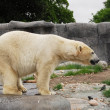Polar bear in Copenhagen Zoo — Stock Photo