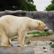 Polar bear in Copenhagen Zoo — Stockfoto