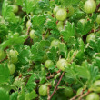 Gooseberry tree — Foto de Stock
